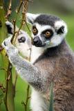 Взбираться Lemur Стоковые Изображения