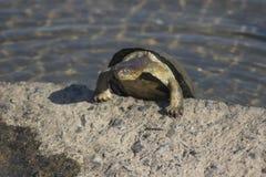 Взбираясь водяная черепаха Стоковые Изображения RF