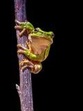 Взбираясь европейская древесная лягушка на черной предпосылке Стоковые Изображения RF