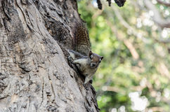 Взбираясь енот на дереве Стоковые Изображения