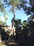 Взбираясь дерево в животиках Prohm, Angkor, Камбодже Стоковое фото RF