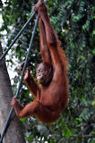 взбираясь женский orangutan Стоковое фото RF