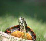 взбираясь журнал над покрашенной черепахой Стоковое фото RF