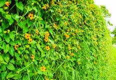 Взбираясь завод с оранжевыми цветками стоковое изображение rf