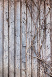 Взбираясь завод на деревянной стене старого амбара Стоковое Фото