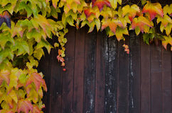 Взбираясь завод с желтым цветом выходит в осень на деревянную загородку стоковое фото rf