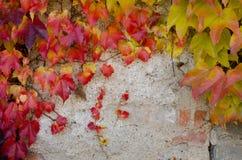 Взбираясь завод с покрашенными листьями в осени на каменной стене стоковые фото