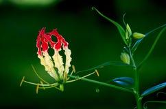 Взбираясь лилия Стоковое Фото