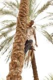 взбираясь пальма человека старая Стоковые Фото