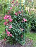 Взбираясь розы Стоковое Фото