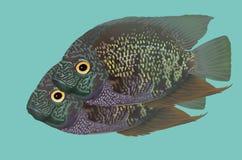 Взбираясь рыбы окуня Стоковая Фотография RF
