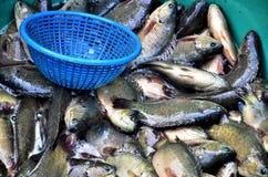 Взбираясь рыбы окуня Стоковые Изображения RF