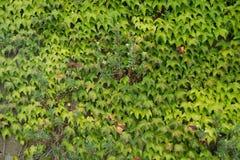 взбираясь стена завода Зеленый цвет листает предпосылка Природа Стоковое Изображение
