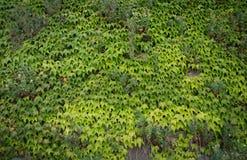 взбираясь стена завода Зеленый цвет листает предпосылка Природа Стоковые Фотографии RF