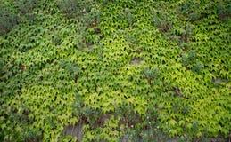 взбираясь стена завода Зеленый цвет листает предпосылка Природа Стоковые Изображения RF