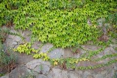 взбираясь стена завода Зеленый цвет листает предпосылка Природа Стоковое Фото