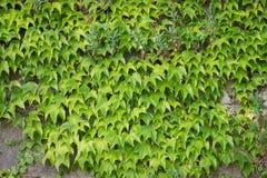 взбираясь стена завода Зеленый цвет листает предпосылка Природа Стоковые Фото