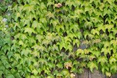 взбираясь стена завода Зеленый цвет листает предпосылка Природа Стоковая Фотография RF