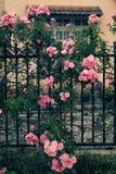 Взбираясь шпалера роз, красивый фронт загородки дома Стоковая Фотография RF