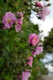 Взбираясь шпалера роз, красивый фронт загородки дома Стоковое Фото