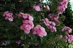 Взбираясь шпалера роз, красивый фронт загородки дома Стоковые Фотографии RF