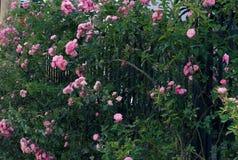 Взбираясь шпалера роз, красивый фронт загородки дома Стоковое Изображение