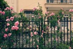 Взбираясь шпалера роз, красивый фронт загородки дома Стоковое Изображение RF