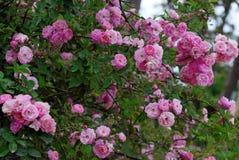 Взбираясь шпалера роз, красивый фронт загородки дома Стоковые Изображения RF