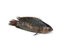 взбираясь gourami рыб Стоковые Изображения RF