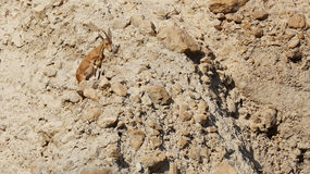 Взбираясь Ibex Nubiana Capra Ibex Nubian в заповеднике Ein Gedi, Израиле Стоковые Фото