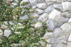 Взбираясь pumila фикуса на каменной стене стоковые изображения rf