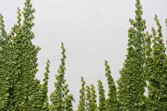 Взбираясь pumila Ficus на стене Стоковое Изображение RF