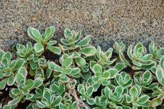 взбираясь succulents Стоковые Изображения