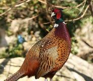 взведите курок цветастому фазану Стоковые Фото