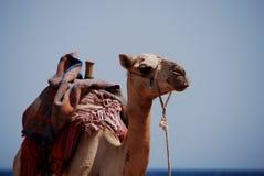 Взгляды верблюда Стоковая Фотография