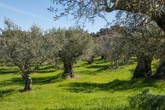 Взгляды зеленой оливковой рощи около Grimaldo стоковые фотографии rf
