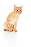 Взгляды кота Brown красивейшие стоковые фото