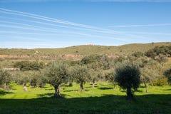 Взгляды оливковой рощи и трассировки в небе прохода самолетов около Grimaldo стоковое фото rf