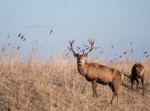Взгляды рогача красных оленей на камере Стоковое Изображение RF
