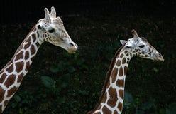 Взгляды со стороны жирафа 2 на зоопарке в Куалае-Лумпур Стоковая Фотография