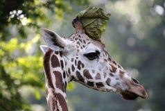 Взгляды со стороны конца-вверх жирафа на зоопарке Стоковое фото RF