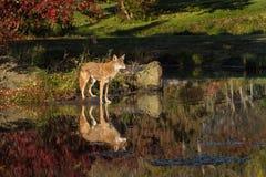 Взгляды latrans волка койота выпрямляют от острова Стоковая Фотография