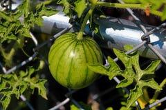 Взгляд арбуза растя вертикальный на загородке звена цепи Стоковое Изображение RF