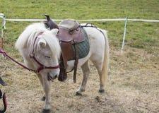 Взгляд белого пони с седловиной и славным выражением Стоковые Изображения RF
