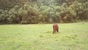 Взгляд большой Bull задней стороны ест траву на поле зелеными холмами сток-видео