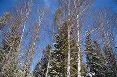 Взгляд вверх вверху высокие деревья покрытые со снегом весной стоковое фото rf