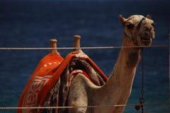 Взгляд верблюда большой Стоковые Фотографии RF