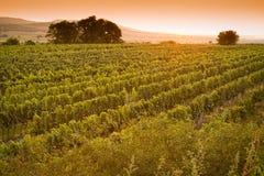 Взгляд вечера виноградников Стоковая Фотография RF