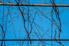 Взгляд виноградника в зиме с чуть-чуть, дремлющими ветвями против b Стоковое Изображение