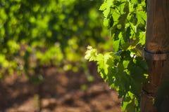 """Взгляд виноградника в Сан Quirico d """"Orcia, Тоскане, Италии стоковое фото rf"""